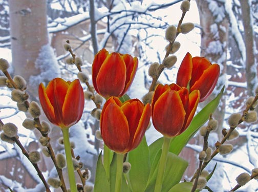 Red tulips, pussywillows in snow storm