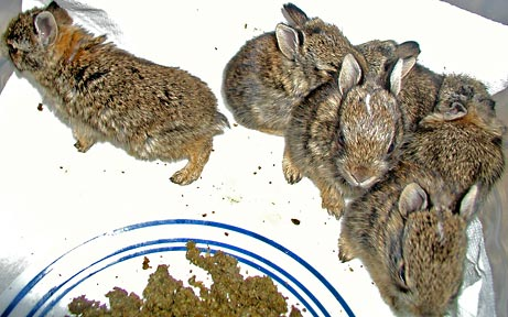 six baby cottontails