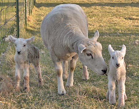 newborn twin lambs with ewe
