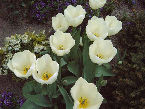White tulips in Holland