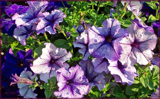Bitzi's Pretty Purple Petunias