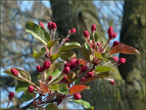 red buds on crab apple tree